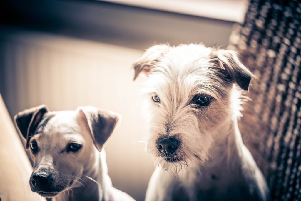 Cute Dogs - Courtesy of Pixabay